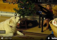 Great Pyrenees Sings Jingle Bells